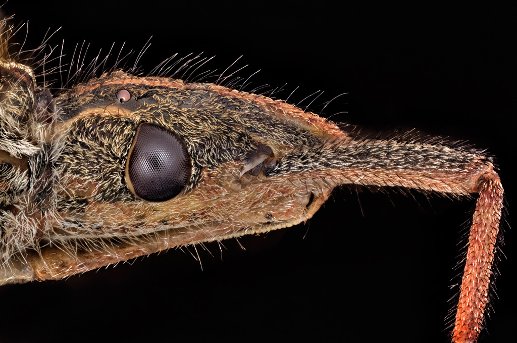 www photomacrography net :: View topic - Leaf-footed bug