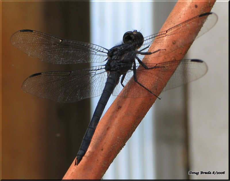 www photomacrography net :: View topic - Gothic Dragonfly