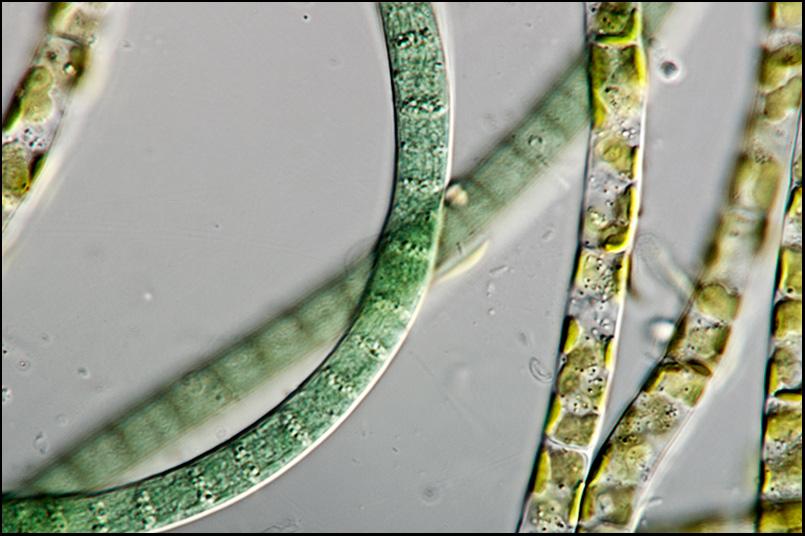 oscillatoria under microscope live specimen - 805×536