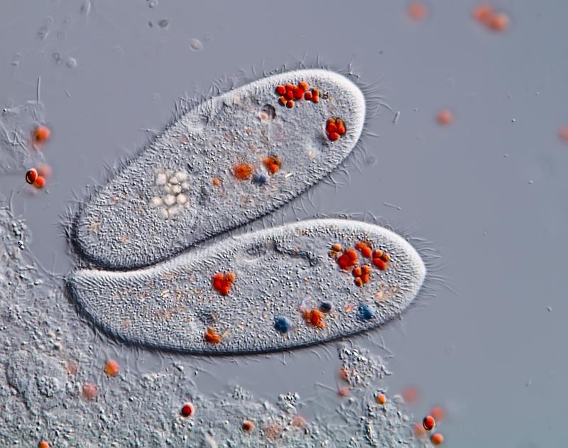 Paramecium Caudatum Under A Microscope paramecium caudatum