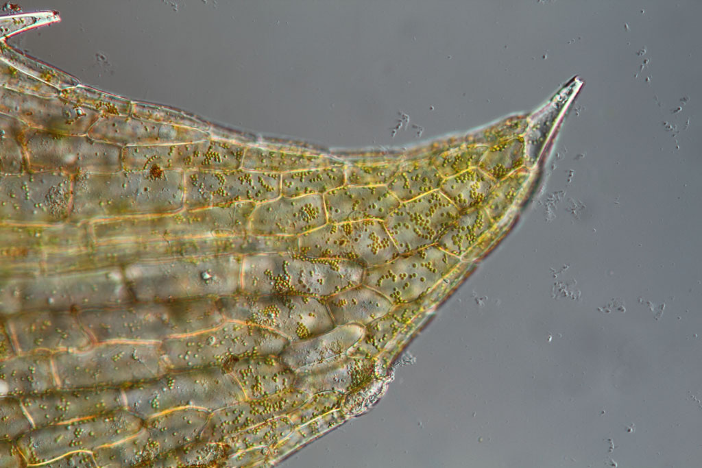 Elodea Leaf 40x Elodea Leaf Cells Leitz Npl Fluotar 40 0 75 Prism Iii